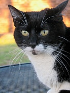 Tuxedo Female Domestic Cat