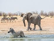 Elephant Chasing Zebra (wild)