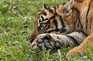 Sumatran Tiger Cub Lying Down
