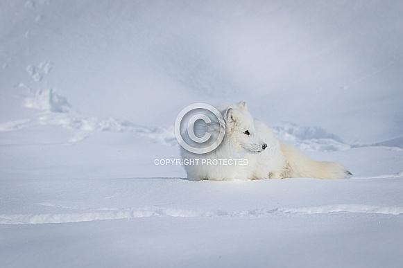 Arctic Fox in heavy snow