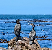White-breasted Cormorants