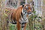 Female Malaysian Tiger