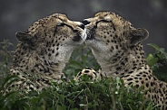 Two Cheetahs Face To Face.