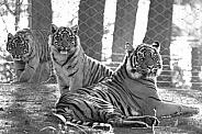 Sumatran tiger with cubs