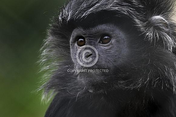 Male Javan Langur Head Shot