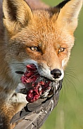 Red Fox and a prey