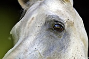 Arabian Stallion Eye
