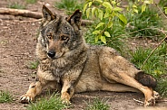 Iberian Wolf Full Body Lying Down