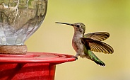Hummingbird - Female