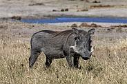 Warthog - Etosha National Park in Namibia