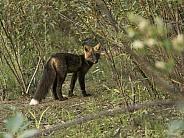 Cross Fox in Alaska
