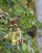 American Robin in the Chokecherry Tree