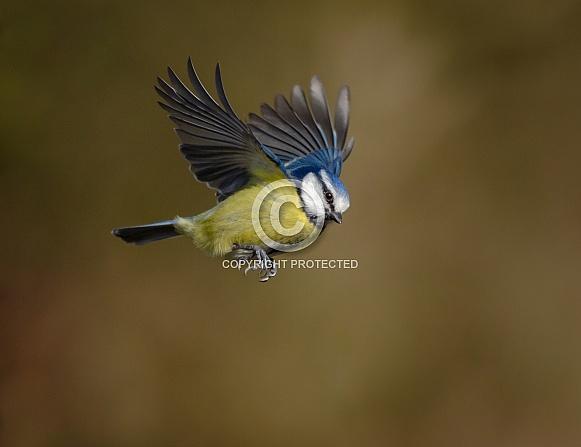 A Blue tit in flight