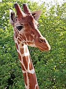 Giraffe (Giraffa camelopardalis reticulata)