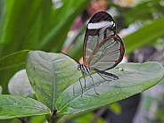 Clearwing or Glasswing Butterfly