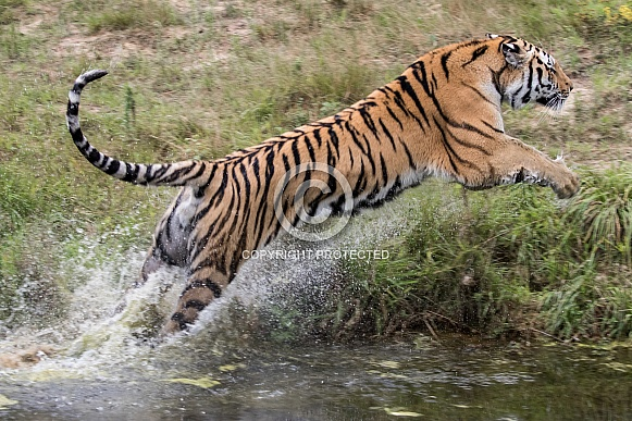 Jumping Amur tiger