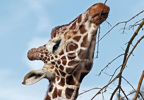 Giraffe Close up, sky background