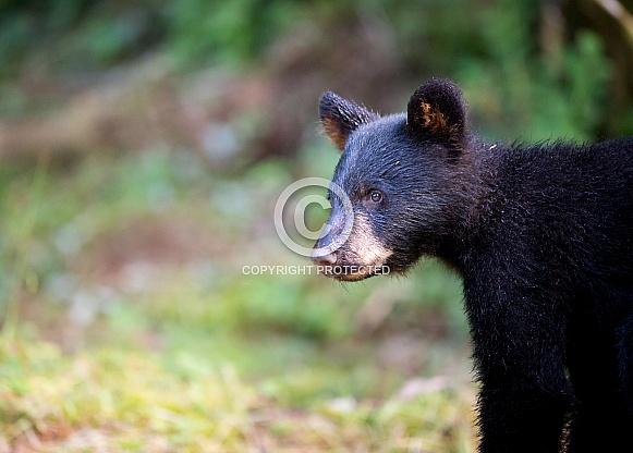 Black Bear Cub (wild)