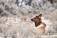 Wild elk calf laying down