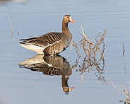 Greater White-fronted Goose and Reflection