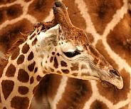 Baby Giraffe With Textured Fur Design