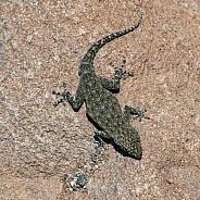 Agama Lizard - Namibia