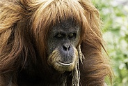 Sumatran Orangutan Walking Looking At Camera