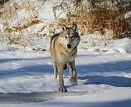 Tundra Wolf at pond