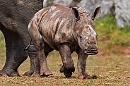 African white rhino calf