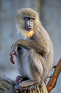 Mandrill (female)