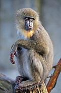 Mandrill (female)