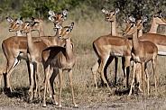 Impala - Botswana