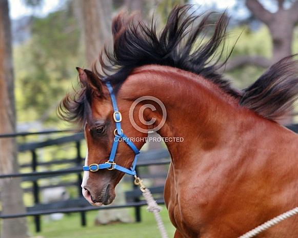 Arabian Colt Arched Neck