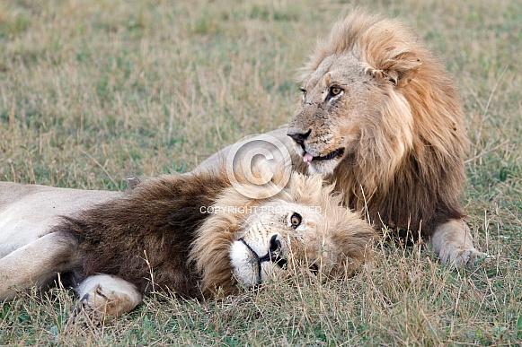 Goofy Lions