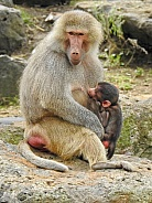 Baboon Mother & Baby