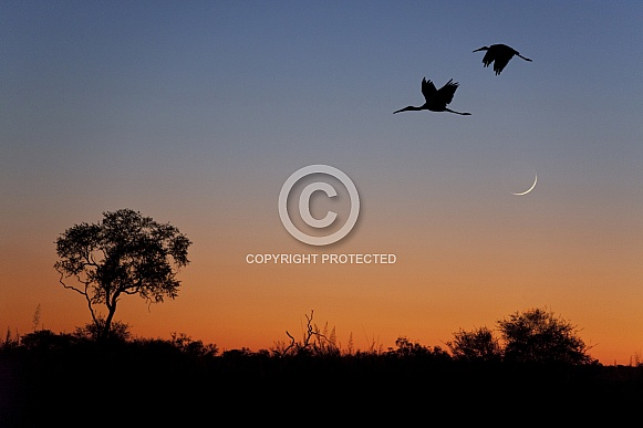 Yellow-billed Storks at dusk
