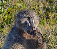 The Thinker. Chacma Baboon