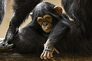 Baby Chimpanzee Over Mums Legs