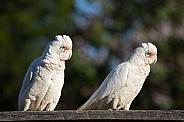 Two Long-billed Corellas (wild).