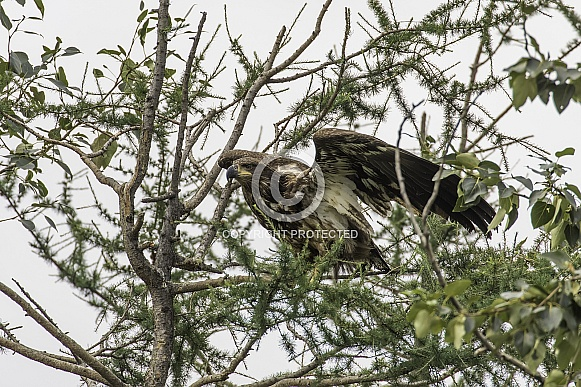 Juvenile Bald Eagle in a Tree in Alaska