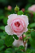 Pink Rose after a rain shower