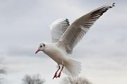 Gull in Flight Close Up