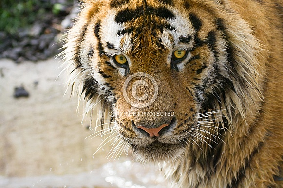 Head from a tiger
