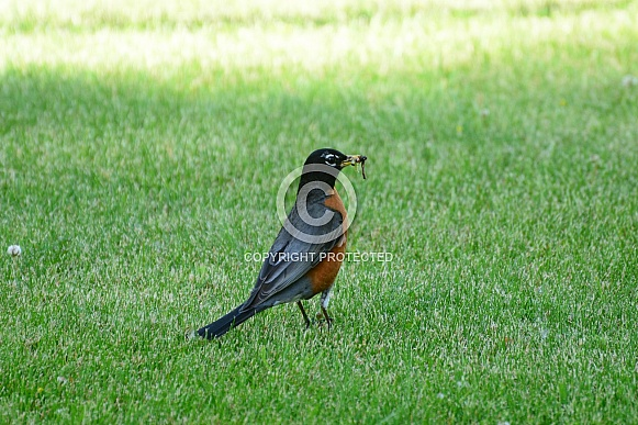 American Robin with a worm