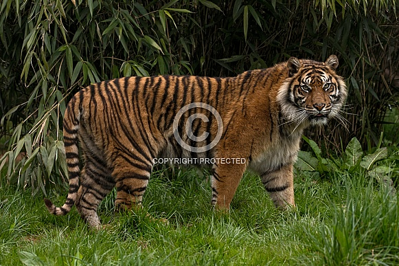 Sumatran Tiger Full Body Shot