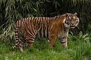 Sumatran Tiger Full Body Shot