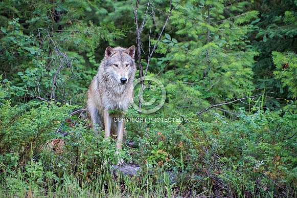 Tundra Wolf at Forest Edge