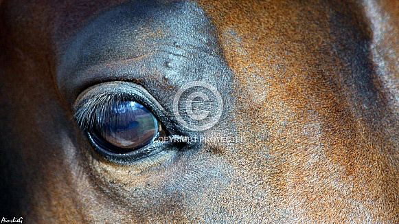 Arabian Colt Eye Study