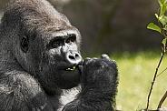 Silverback Western Lowland Gorilla Head Shot