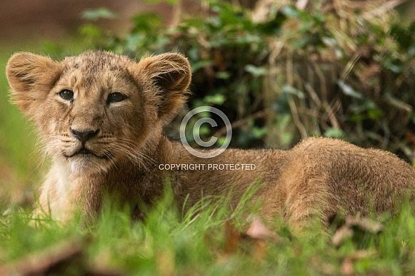 Africa Lion Cub